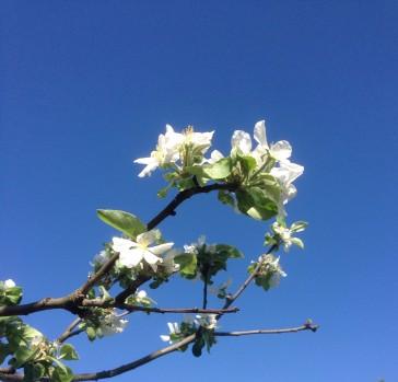Äppelblom mot blå himmel