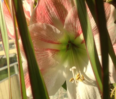 Polkaamaryllisen blommar den 22 maj 2014