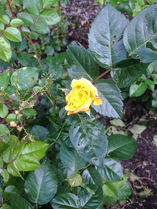 Gul liten ros