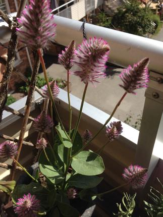 Annas mystiska blomma
