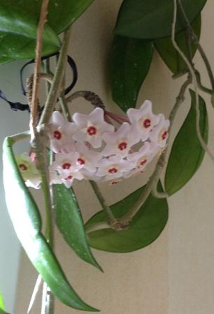 Blommande porslinsblomma