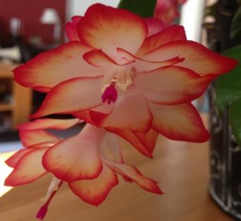 Novemberkaktus blommande