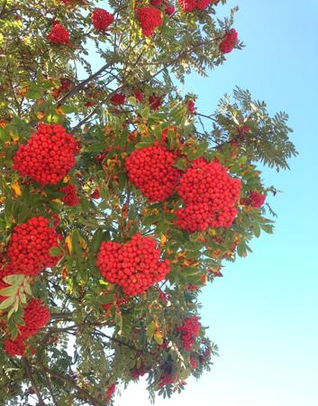 Rönnbär mot ljusblå himmel