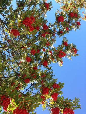 Rönnbär och blå himmel