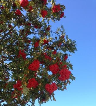 Rönnbärsgren och himmel