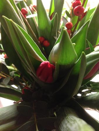 Tulpaner från Rippe