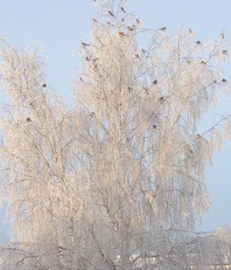 Fåglar i ett vinterträd