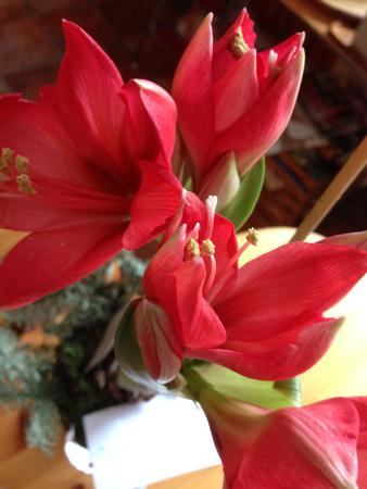 Blommande amaryllis den 4 februari