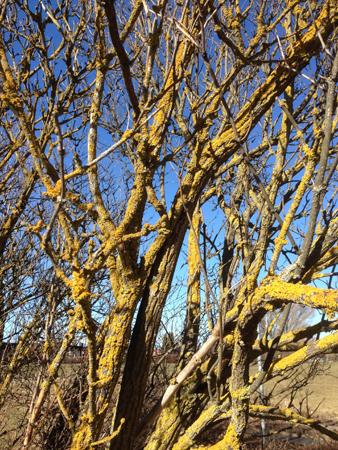 Träd med mossa mot blå himmel