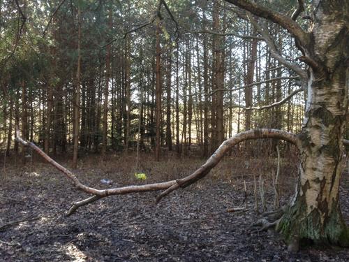 Trädgren krokig