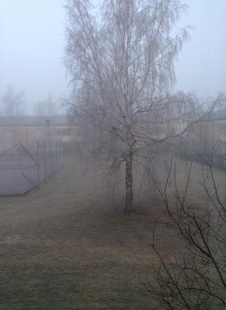 Björk i dimma