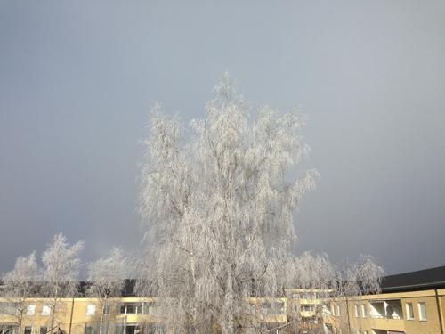 Björken mot grå himmel