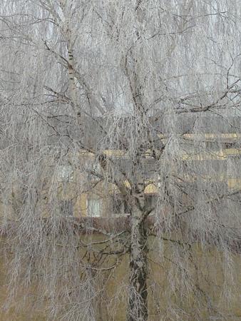 Frost i björken