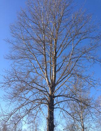 Träd mot marsblå himmel