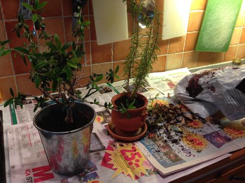 Omplantering av krukväxter