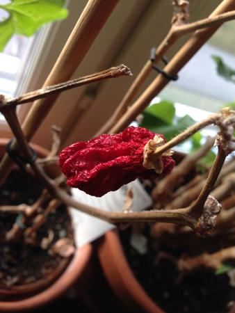 Skrumpen paprika