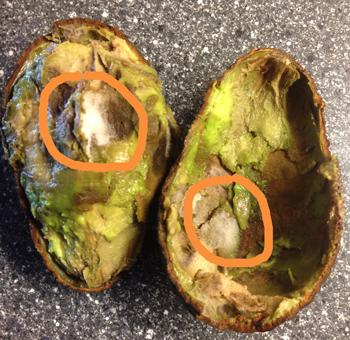Avocado med hårigt mögel