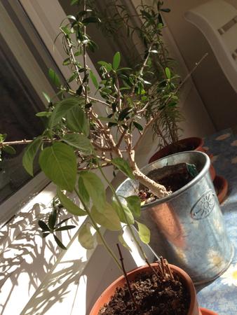 Basilika olivträd och dragon