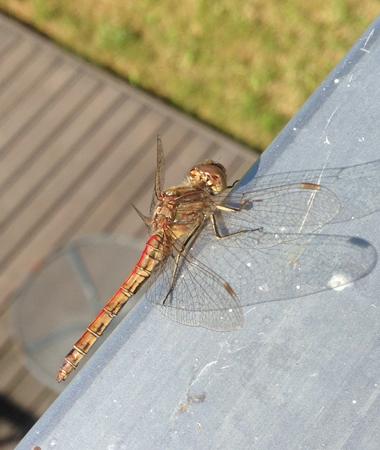 Insekt på balkongräcket