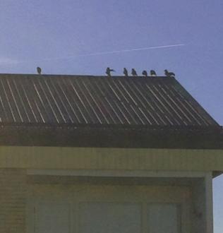 Fåglar på taknocken