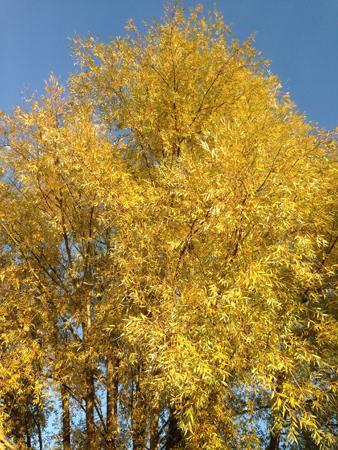 Pilträd höst