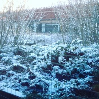 Snöiga buskar jobbet