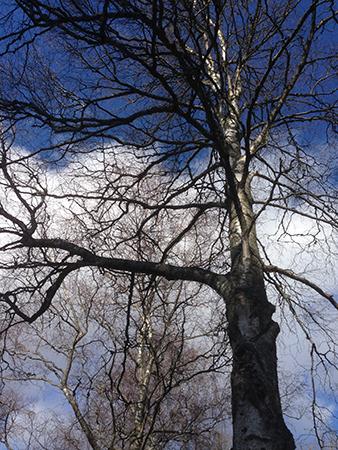 Träd mot blå och molning vårhimmel