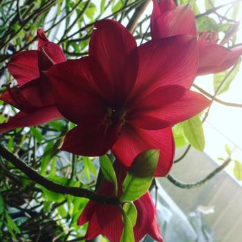 Amaryllis blommande påsken 2016