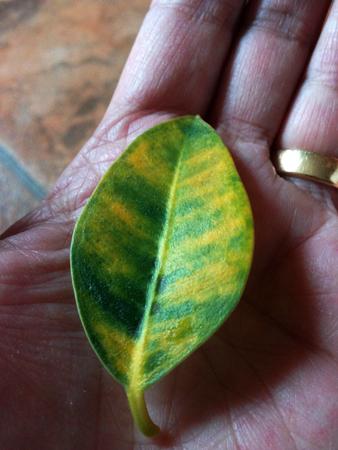 Grönt och gult blad