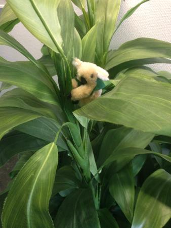 Koala i krukväxt